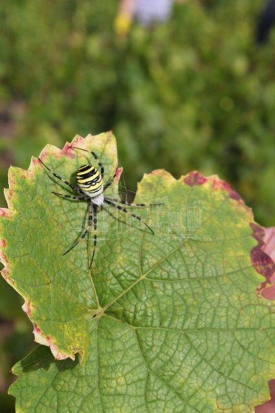 araignee-sur-feuille-de-vigne