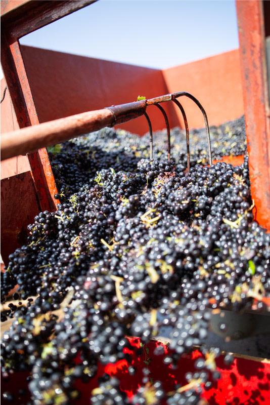 recoltes-vignes-domaine-beaujolais